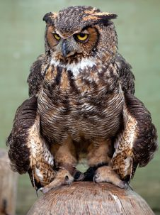Free Great Horned Owl Royalty Free Stock Images - 14687409