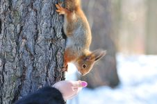 Free Squirrel Stock Photography - 14687632
