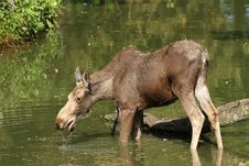 Free Moose In The Water Royalty Free Stock Photos - 14687808