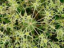 Free Background Of  Plants With Prickles Royalty Free Stock Photo - 14688255