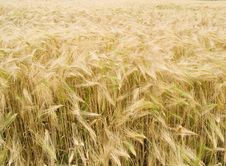 Free Field With Wheat Stock Photography - 14688542