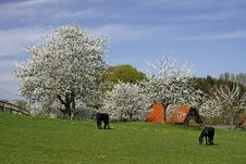 Spring Landscape With Horses In Germany