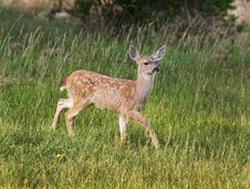 Free Fawn Walking In Field Stock Photos - 14688703