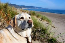 Free Yellow Lab Relaxing At Beach. Stock Image - 14688951