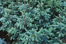 Free Plantation Of Fir Trees Royalty Free Stock Photo - 14689115