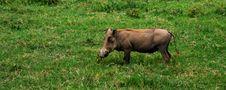 Free Warthog Stock Photos - 14689623