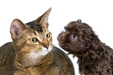 Free Cat And The Puppy Of The Lapdog Royalty Free Stock Photo - 14689935