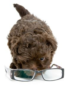 Puppy Of The Lapdog And Glasses Royalty Free Stock Images