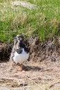 Free Turnstone Bird Standing Near Water Royalty Free Stock Images - 14690999