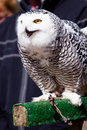 Free White Snow Owl Stock Image - 14691201