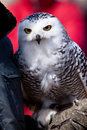 Free White Snow Owl In Closeup Royalty Free Stock Photography - 14691217