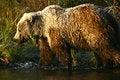 Free Kodiak Brown Bear Stock Image - 14698491