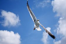 Free A Flying Seagull Royalty Free Stock Photo - 14690205