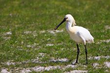 Free Large White Spoonbill Bird Standing In Grassland Royalty Free Stock Photography - 14690927