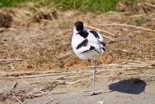 White Avocet Bird Sleeping Near Water