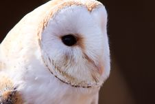 Free Closeup Of A White Screech Owl Stock Photos - 14691093