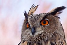 Free Big Eagle Owl In Closeup Royalty Free Stock Images - 14691189