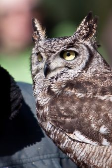 Free Long Eared Owl In Closeup Royalty Free Stock Photography - 14691257