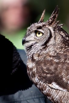 Free Long Eared Owl In Closeup Stock Image - 14691261
