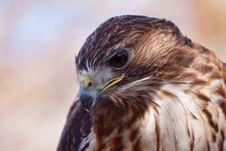 Free Big Brown Eagle In Closeup Royalty Free Stock Photos - 14691278