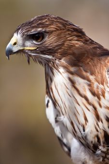 Free Big Brown Eagle In Closeup Stock Image - 14691281