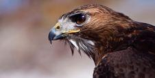 Free Big Brown Eagle In Closeup Royalty Free Stock Image - 14691286