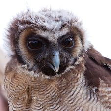 Free Young Juvenile Owl In Closeup Royalty Free Stock Photos - 14691328