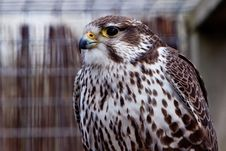 Free Big Brown Eagle In Closeup Royalty Free Stock Photo - 14691345
