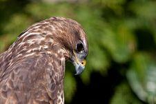 Free Big Brown Eagle In Closeup Royalty Free Stock Image - 14691376