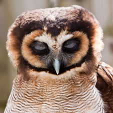 Free Young Juvenile Owl In Closeup Royalty Free Stock Images - 14691389