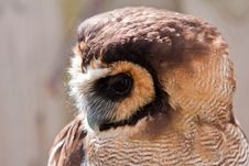 Free Young Juvenile Owl In Closeup Stock Images - 14691404