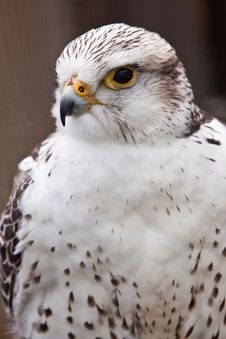 Free Big Brown And White  Eagle In Closeup Stock Photo - 14691410