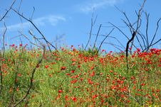Free Field Of Poppies Royalty Free Stock Image - 14691426