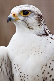 Free Big Brown And White  Eagle In Closeup Stock Images - 14691434