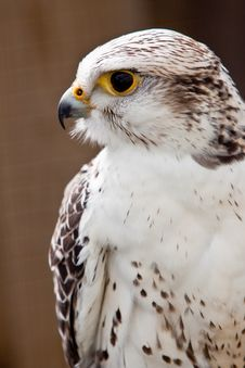 Free Big Brown And White  Eagle In Closeup Royalty Free Stock Images - 14691439