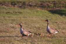 White-fronted Goose Couple With Youngsters Royalty Free Stock Images