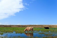 Free Scottish Highlanders Walking Through The Wetlands Stock Photo - 14691700