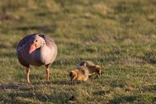 Free White-fronted Goose With Youngsters Royalty Free Stock Photos - 14691878