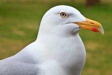 Free Big White Herring Gull Bird Stock Images - 14692094