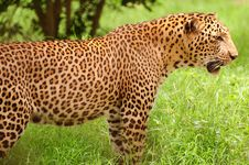 Free Leopard In The Plains Royalty Free Stock Photography - 14692287