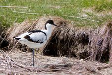Free White Avocet Bird Standing Near Water Stock Image - 14692441