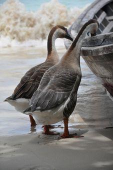 Free Goose Stock Image - 14693061