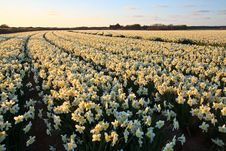Free Large Narcissus Field In Spring Stock Images - 14693254