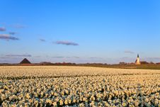 Large Narcissus Field In Spring Royalty Free Stock Photos
