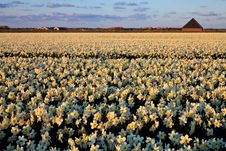 Free Large Narcissus Field In Spring Stock Photo - 14693430