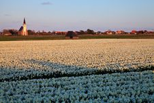 Large Narcissus Field In Spring Stock Photography