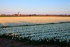 Large Narcissus Field In Spring Stock Image