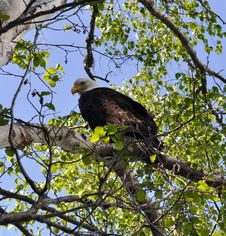 Free American Bald Eagle Stock Photo - 14693510
