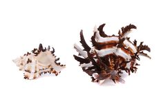 Free Sea Cockleshells Royalty Free Stock Images - 14693599
