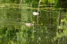 Free Two Ducks On A Pond Royalty Free Stock Photo - 14693655